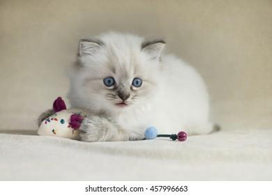 6 week old Ragdoll kitten
