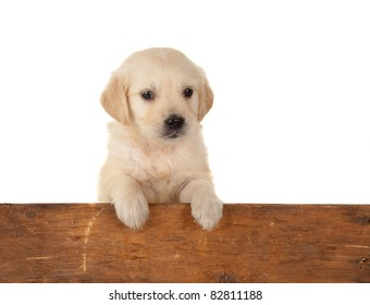 6 weeks old golden retriever puppy over a wooden fence