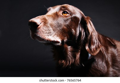 6 years old liver retriever photographed in the studio on a dark background