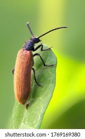 A 7 to 10 millimeter long woolly beetle on a leaf