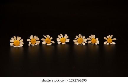 7 daisies on a row