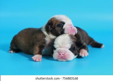 7 days purebred English Bulldog puppy say hello the world on light blue screen