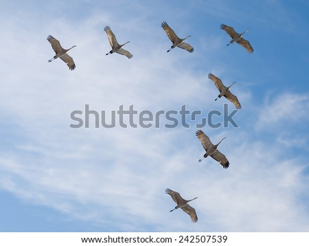 7 Sandhill Cranes Migrating In V Formation Against Blue Sky And Cirrus Clouds