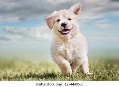 7 weeks old Golden Retriever Puppy