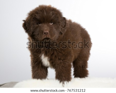 7 Weeks Old Newfoundland Dog Puppy Stock Photo Edit Now 767531212