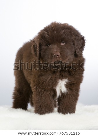 7 Weeks Old Newfoundland Dog Puppy Stock Photo Edit Now 767531215
