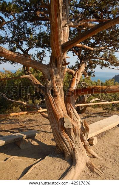 700 centuries-old  relict juniper tree  close up