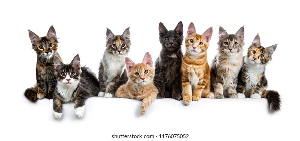 8, adorable, antracite, baby, big ears, blue, blue tabby point, boning, breed, bright, brown, brown eyes, cats, coons, costarini, cute, domestic, eight, family, felines, fluffy, funny, gentle giants,