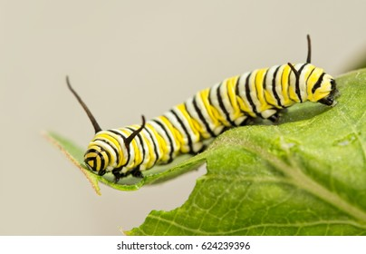 8 days old Monarch caterpillar eating Milkweed