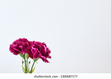 8 March Women's day Flower Carnation Spring On White Background, Empty space for design