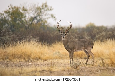 8 point whitetail buck in South Texas