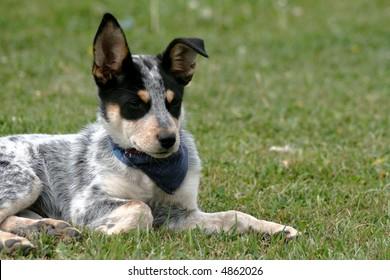 8 week old Blue Heeler puppy dog
