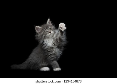 8 week old blue tabby maine coon kitten sitting raising paw on black studio background