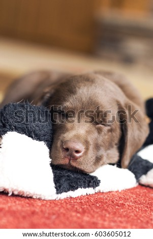 8 Week Old Chocolate Lab Puppy Stock Photo Edit Now 603605012