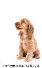 8 week old Cocker Spaniel Puppy