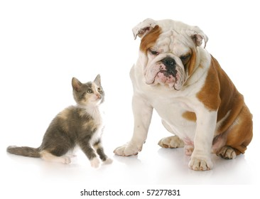 8 week old kitten looking up at 8 month old english bulldog puppy with reflection on white background