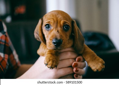 8 weeks old smooth hair brown dachshund puppy held in hands of its female owner that wears a colourful plaid shirt and red manicured nails. First day in forever home.