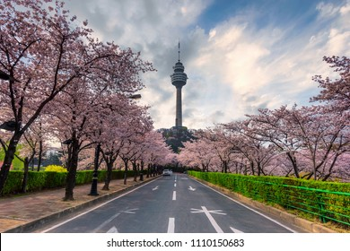 83 Tower is a landmark of Daegu city and cherry blossom tree during the spring season this area is popular sakura spot at in Daegu city South Korea.