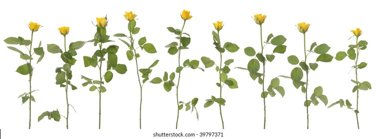 9 yellow roses isolated on white