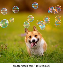 -a cute ginger Corgi dog puppy runs across a green bright meadow on a Sunny summer day for soapy shiny bubbles