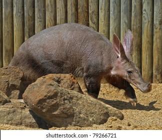 Aardvark animal