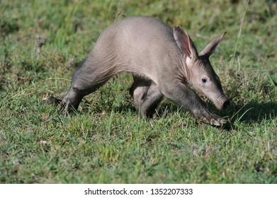 Aardvark in Masai Mara