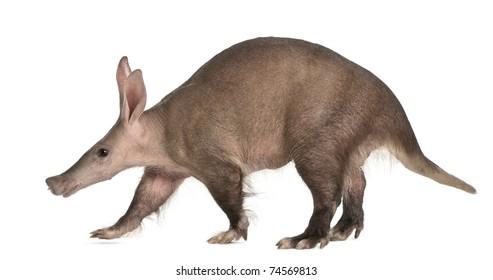 Aardvark, Orycteropus, 16 years old, walking in front of white background