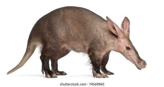Aardvark, Orycteropus, 16 years old, in front of white background