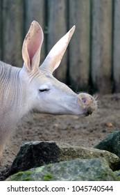Aardvark puckers up