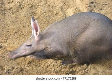 aardvark resting