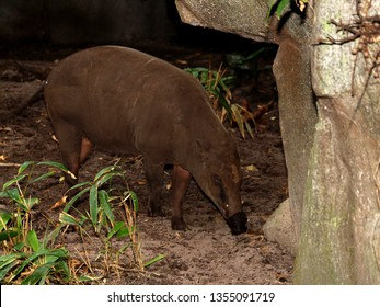 Aardvark sniffing out ants