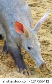 Aardvark walking in sand