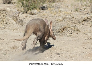 Aardvark - Wildlife from Africa - The very rarely seen Aardvark running from the photographer.  This animal is nocturnal and hardly seen at all, except in a zoo.  This photo was taken in the wild.