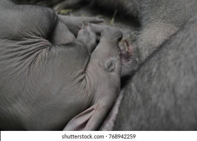 Aardvark in zoo