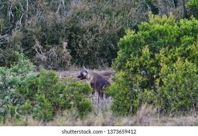 Aardwolf in Addo National Park, South Africa