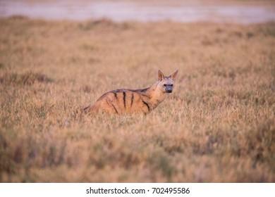 An Aardwolf in Botswana