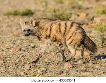 An Aardwolf comes out at sunset to forage in Southern Africa