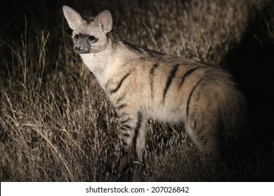 An Aardwolf in the dark, standing erect in a pool of light, Namibia, Africa