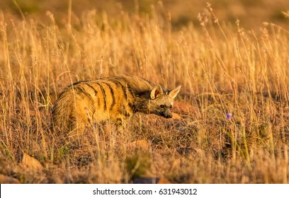 An Aardwolf foraging at dusk in Southern African savanna