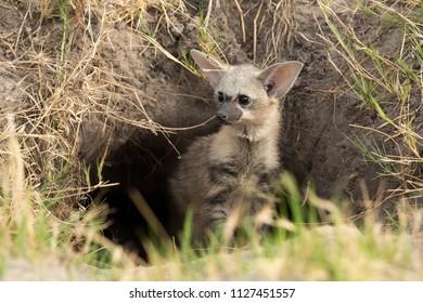 Aardwolf puppy peeking out of its den in the Okavango Delta, Botswana