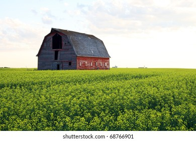 An abandoned barn sits in an ocean of blooming canola on the prairies of Saskatchewan Canada