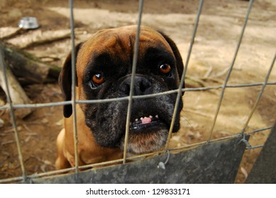 An abandoned boxer in a shelter.