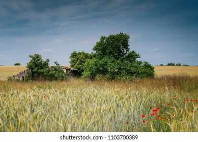 Abandoned collapsed wooden barn on sunny summer wheat field