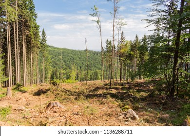 Abandoned cropped logs of alder trees are stored in a meadow. Deforestation, destruction of deciduous forests. Cutting valuable species of trees under the pretext of sanitary cleaning the forest.