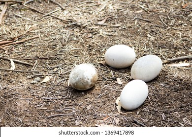 Abandoned Emu eggs in the woods near the You Yangs