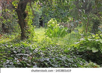Abandoned, overgrown green garden with  ivy