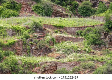Abandoned vineyard with terraces on the steep slope of the Moselle river (Terassenmosel), near Valvig in Rhineland-Palatinate, Germany
