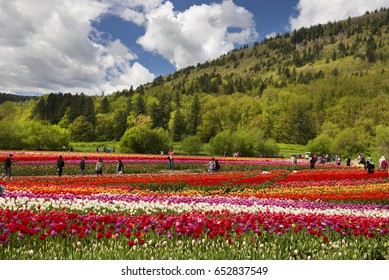 """ABBOTSFORD BLOOM - APRIL 30, 2017: Popular opportunity """"Bloom Tulip Festival"""" is providing in April and May. Visitors enjoy beautiful flowers under hills close to Abbotsford. British Columbia, Canada"""