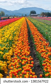 ABBOTSFORD, BRITISH COLUMBIA, CANADA - APRIL 21, 2019: Bloom Abbotsford Tulip Festival