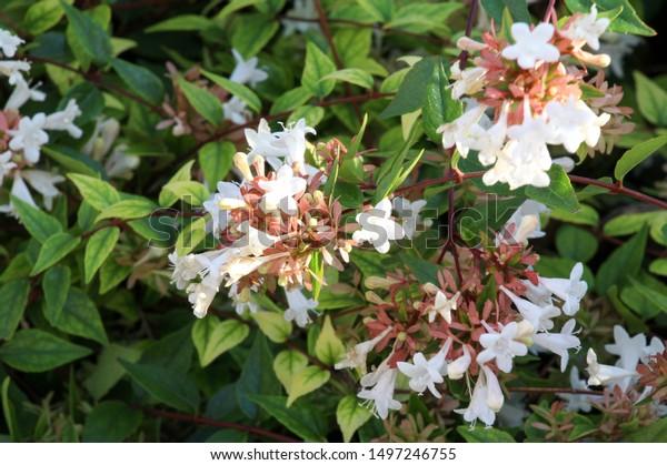 abelia-x-grandiflora-flower-shrubs-600w-
